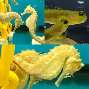 Erectus Seahorse Pair and 2 Yellow Watchman Gobies