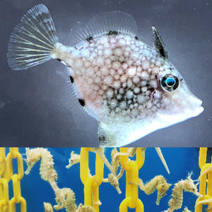SAVVY SPECIAL-Captive Bred Whitespotted Filefish and Pair of Saddled Erectus Seahorses