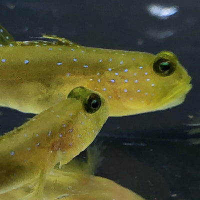 Captive Bred-Yellow Watchman Goby
