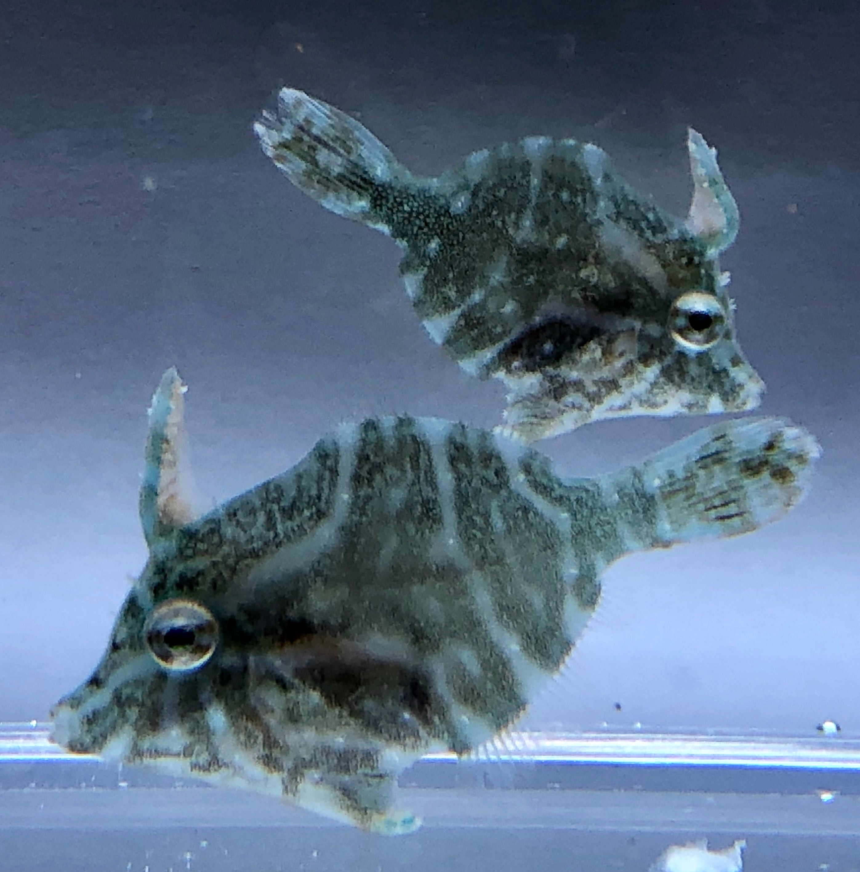Biota Captive Bred-Radial Filefish-Coming Soon