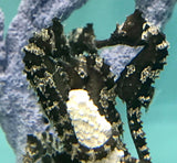 Holiday Special Captive Bred Dark Silver-Saddled Erectus Seahorse-3 Lot Trio