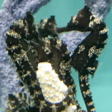 NEW Captive Bred Dark Silver-Saddled Erectus Seahorse Single
