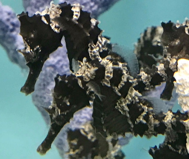 HOLIDAY SALE-2 Lot Captive Bred Dark Silver-Saddled Erectus Seahorse-Unsexed