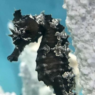 Captive Bred Dark Silver-Saddled Erectus Seahorse-Single