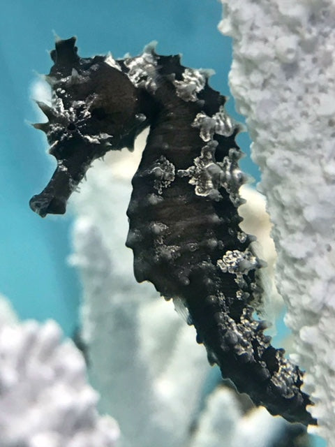 Captive Bred Dark Silver-Saddled Erectus Seahorse Single