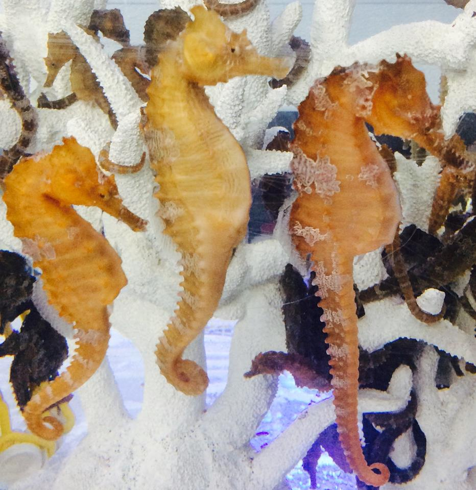 Captive Bred Saddled Erectus Seahorse-2 Pair Special