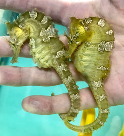 Saddled Erectus Seahorse Male/Female Pair