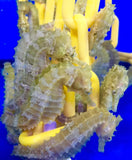 Captive Bred Saddled Erectus Seahorse-2 Lot