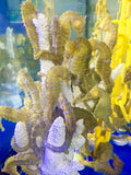 Holiday Special Captive Bred Saddled Erectus Seahorse-2 Pair Special