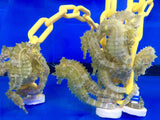 Captive Bred Saddled Erectus Seahorse-3 Lot Trio