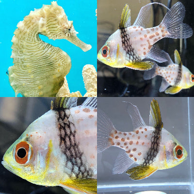 Trio of Pajama Cardinal Fish and Single Saddled Erectus Seahorse