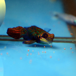 Aquarium Conditioned-Green Mandarin Dragonet Pair