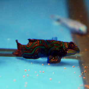 Aquarium Conditioned-Green Mandarin Dragonet