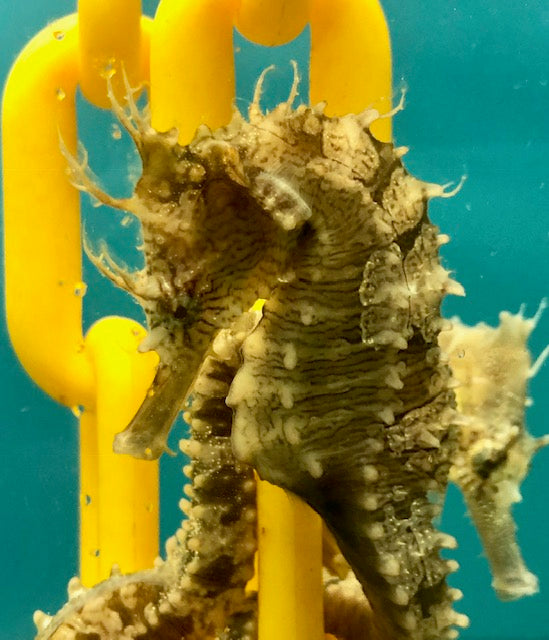 Captive Bred Saddled Erectus Seahorse with Cirri