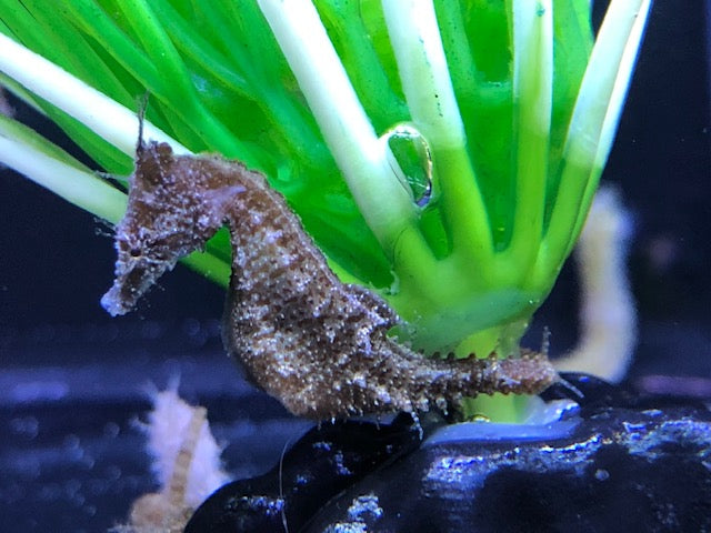 12 Dwarf Seahorses Plus 1 FREE-Captive Bred Hippocampus zosterae (Bakers Dozen Special)
