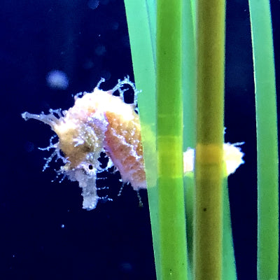 10 Dwarf Seahorses-Captive Bred Hippocampus zosterae