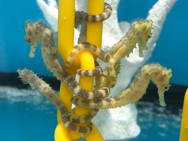NEW Captive Bred Tiger Tail Seahorse-H. comes Pair