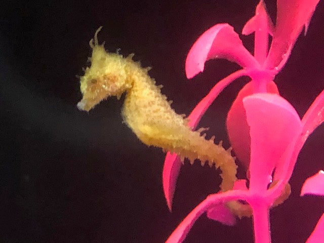 5 Dwarf Seahorses-Captive Bred Hippocampus zosterae