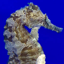 LARGE-Saddled Erectus Seahorse-Single