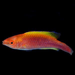 Aquarium Conditioned-Lubbock's Fairy Wrasse-VERY NICE