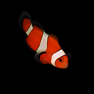 ORA Ocellaris Clownfish-Single