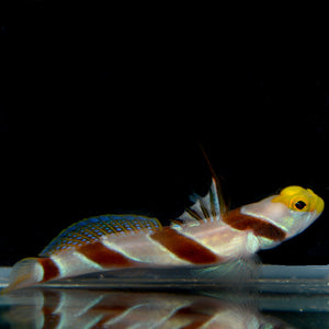 Aquarium Conditioned-High Fin Yellownose Shrimp Goby