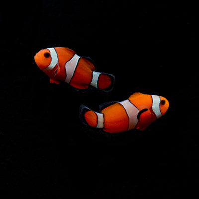 ORA Ocellaris Clownfish-Pair