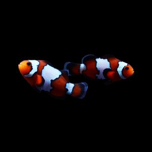 ORA Black Ice Snowflake Ocellaris Clownfish-Pair