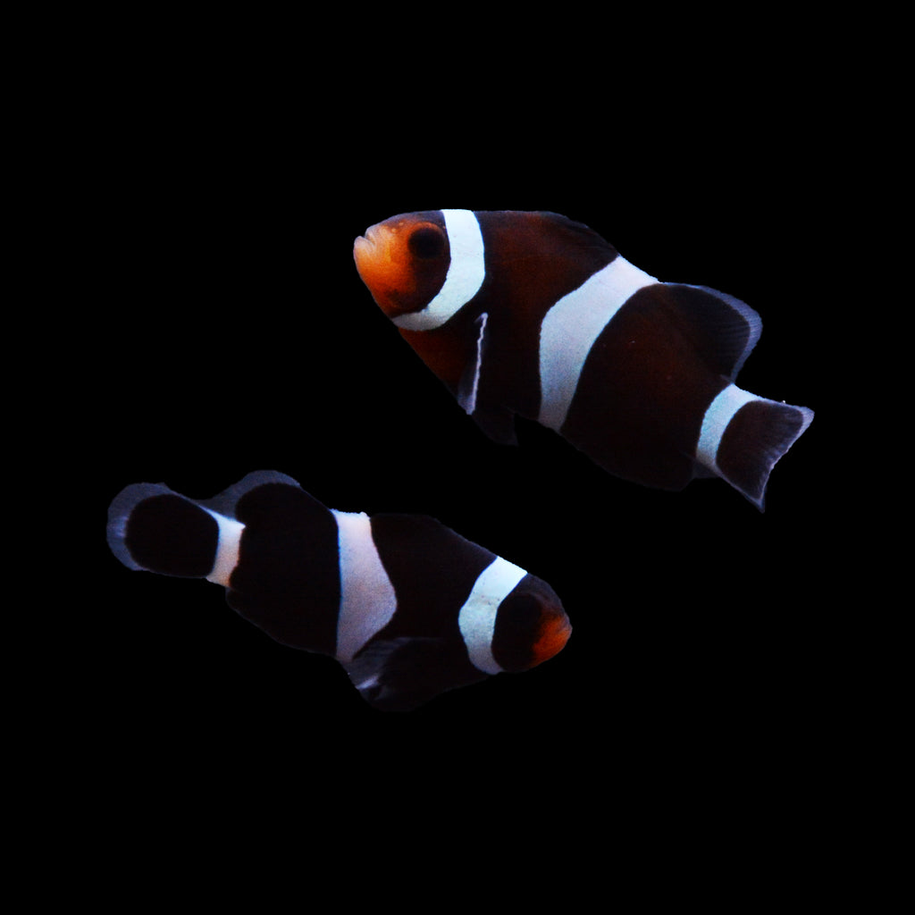 ORA Darwin Black Ocellaris Clownfish-Pair