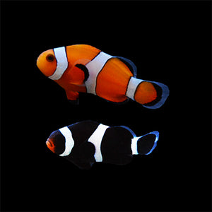 Mix Pair-One Darwin Black Ocellaris and One Ocellaris Clownfish