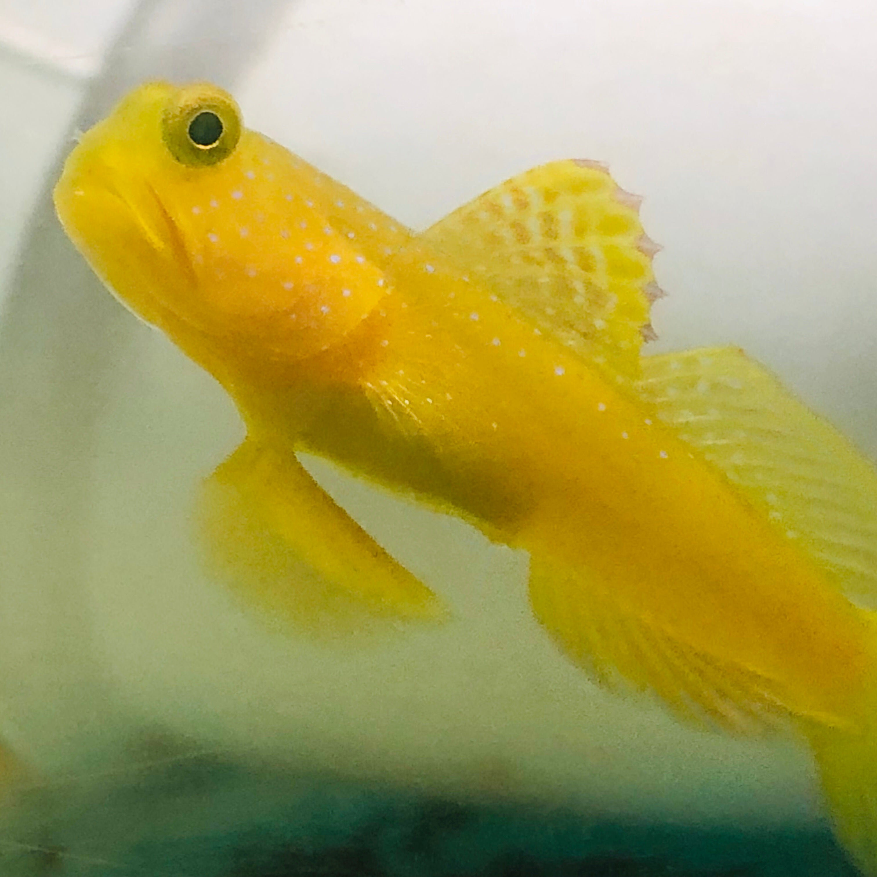 ORA Captive Bred-Yellow Watchman Goby Pair