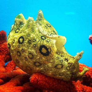 Spotted Sea Hare-Great Algae Eaters