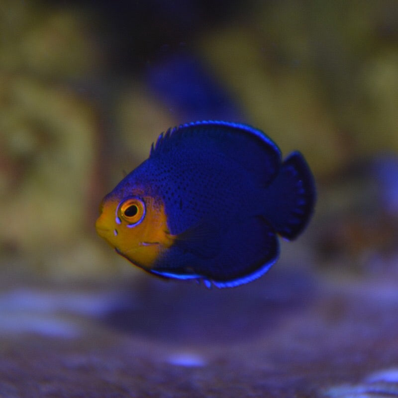 Aquarium Conditioned-Pygmy Angelfish (Cherub)