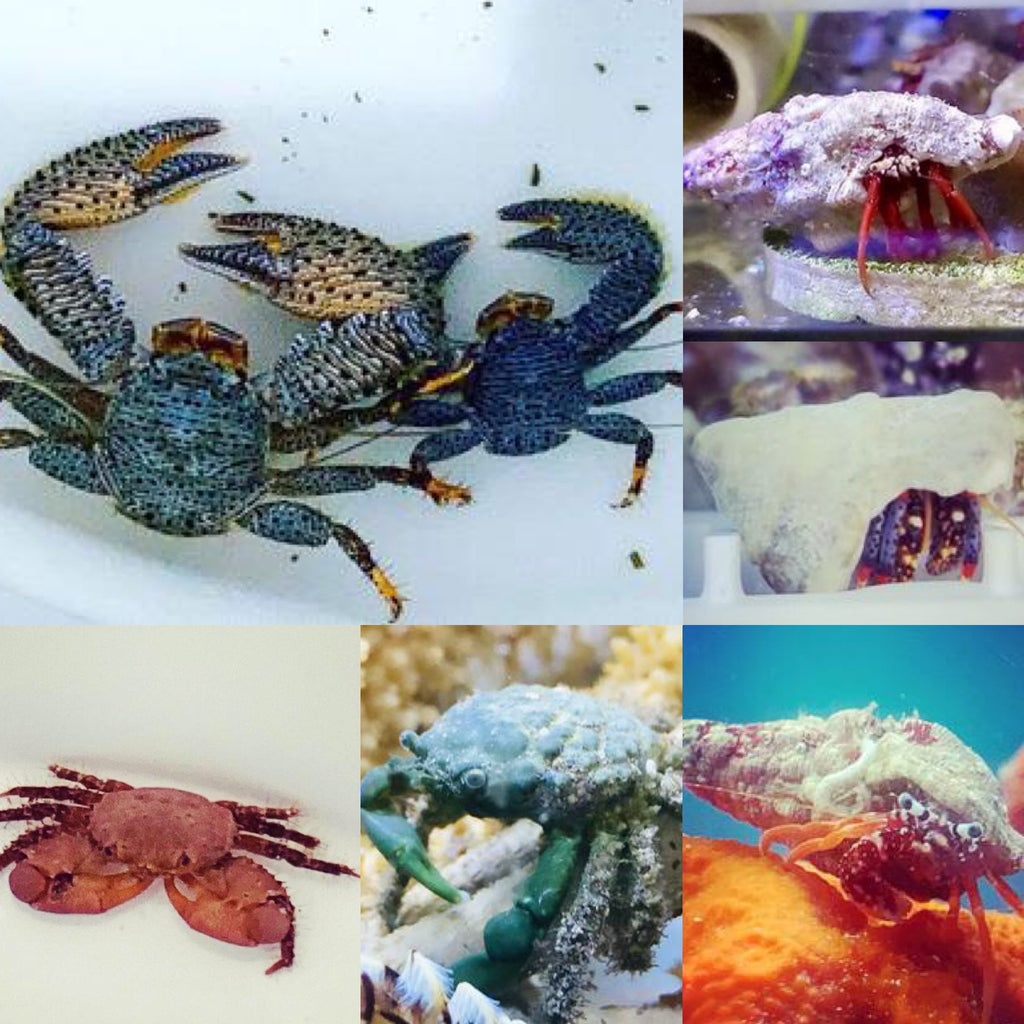 30-45 Gallon-The Crabs Clean-up Crew Package