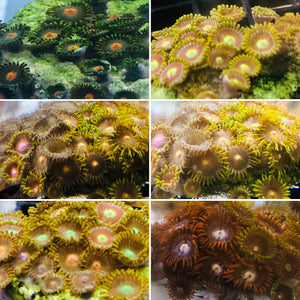Mixed Zoanthids-ORA Aquacultured