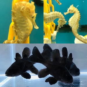 Two Captive Bred Black Cardinals and Pair of Saddled Erectus Seahorses