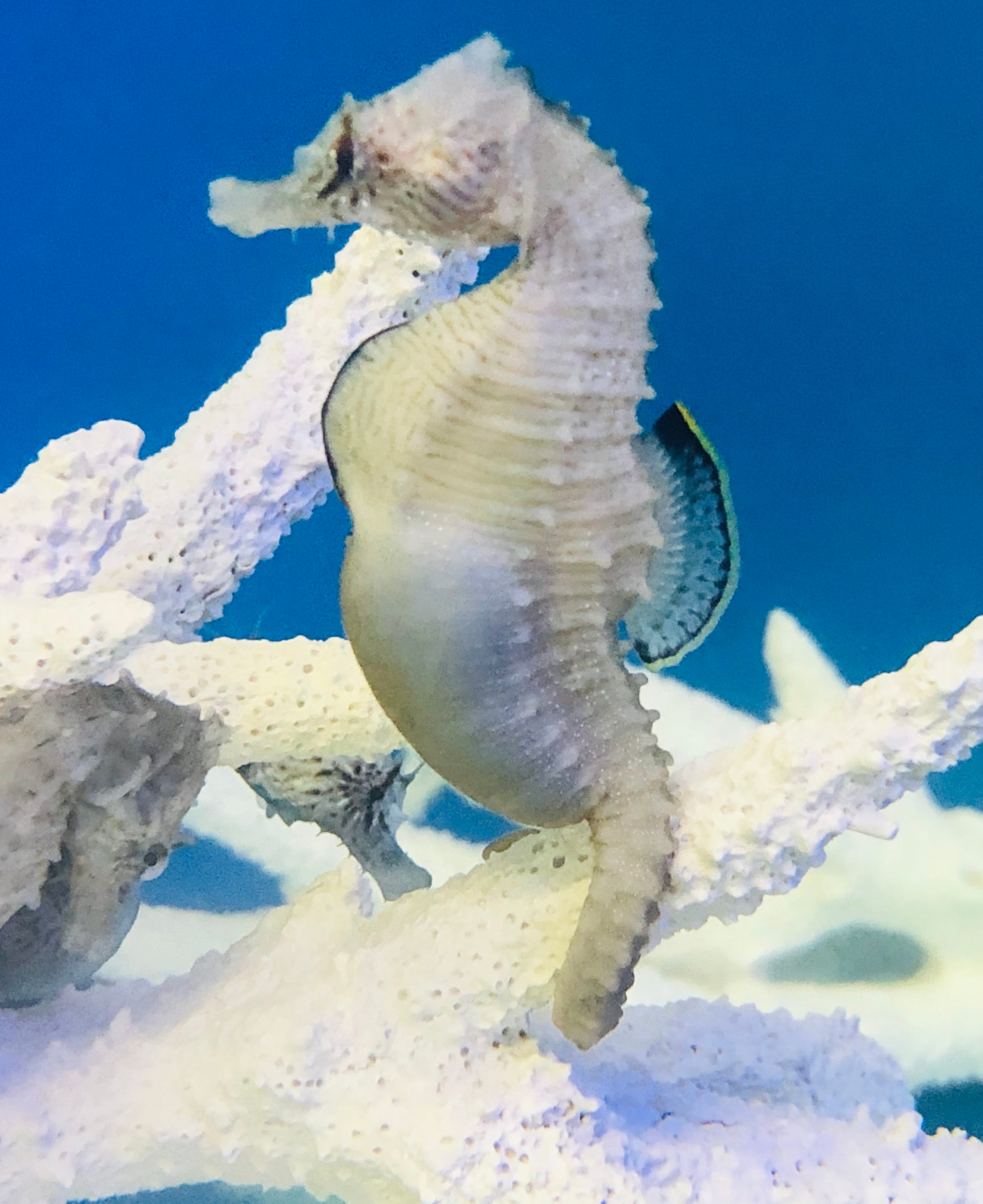 NEW Captive Bred-Northern H. Erectus Seahorse-Trio
