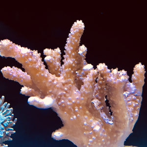 Fuzzy Lobophytum Branching Leather Coral-ORA Aquacultured