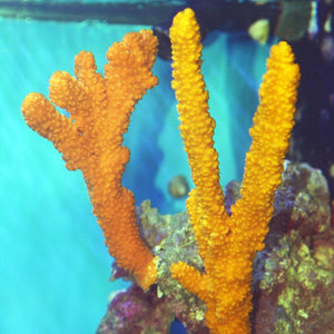 Orange Branching Tree Sponge-(Great for Seahorse Hitching Posts)