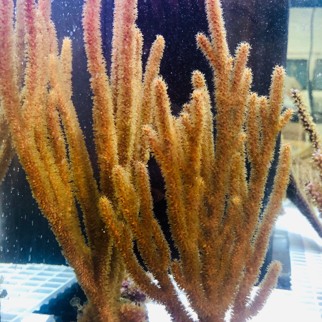 Orange Spiny Gorgonian-Photosynthetic-VERY NICE
