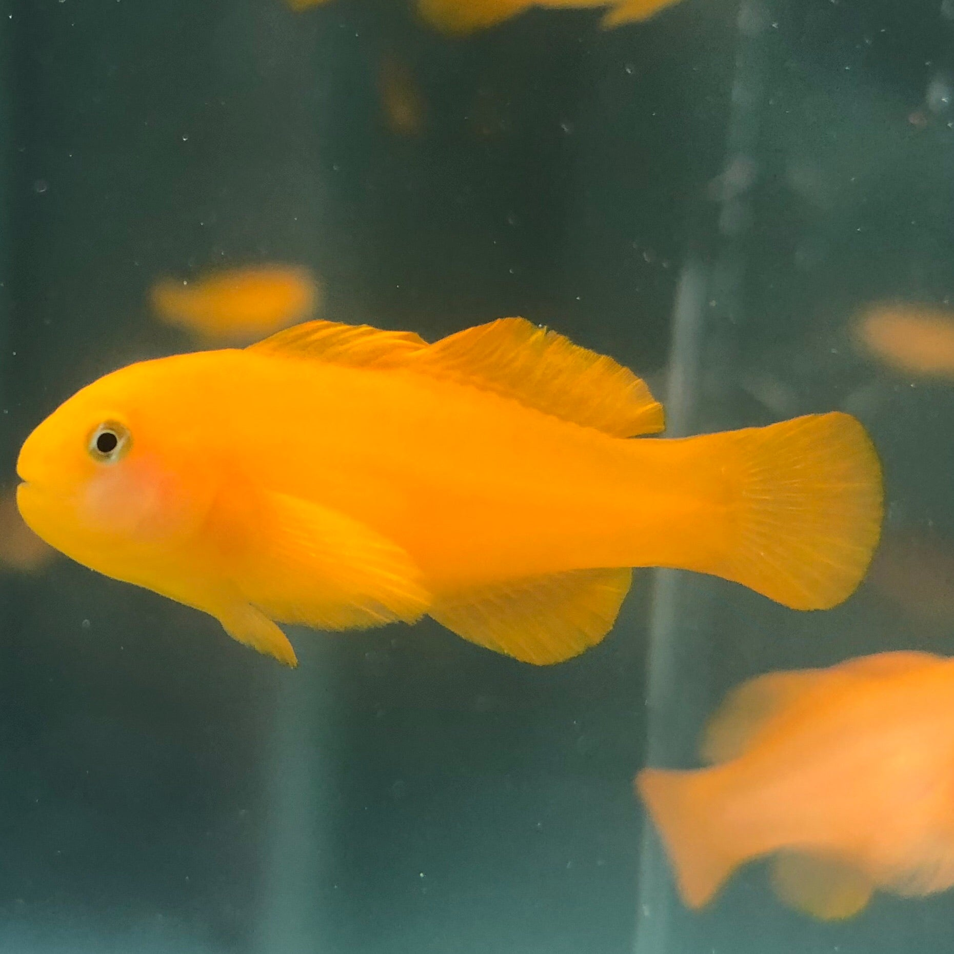 Aquarium Conditioned-Yellow Clown Goby