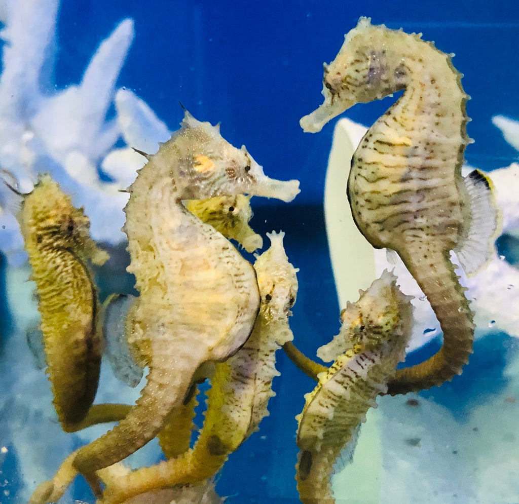 NEW Captive Bred-Northern H. Erectus Seahorse-Pair