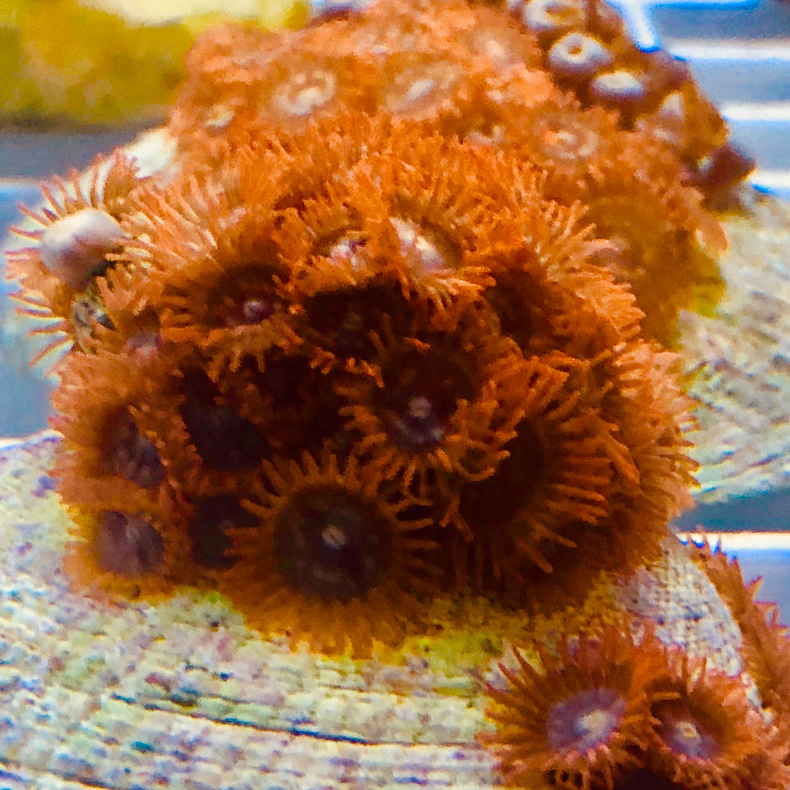 Fire and Ice Zoanthid Cluster