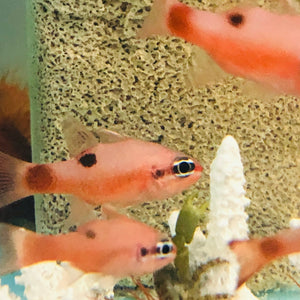 NEW Aquarium Conditioned-Flame Cardinal Fish