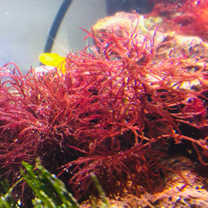 Red Gracilaria Macroalgae