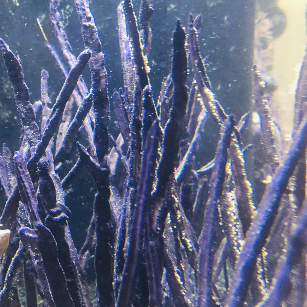 Purple Ribbon Gorgonian-Photosynthetic