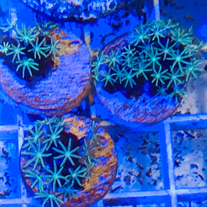 Lime Green Star Polyps