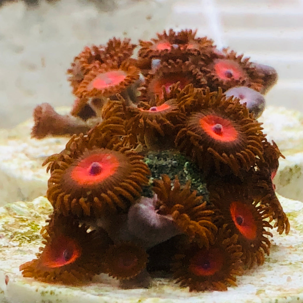 NEW Red Zoanthids-ORA Aquacultured