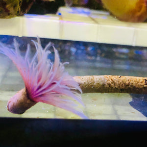 Dwarf Feather Duster