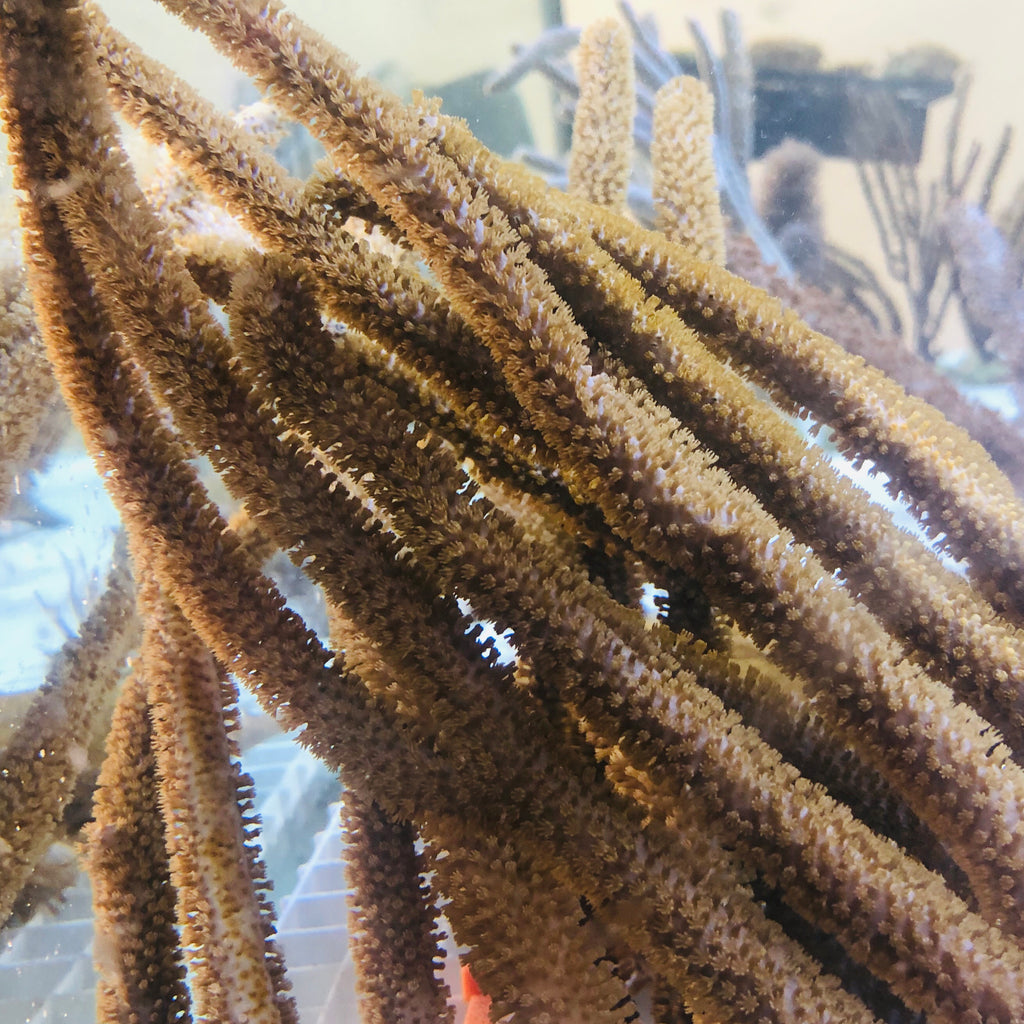 Giant Slit Pore Gorgonian (Small)-Photosynthetic